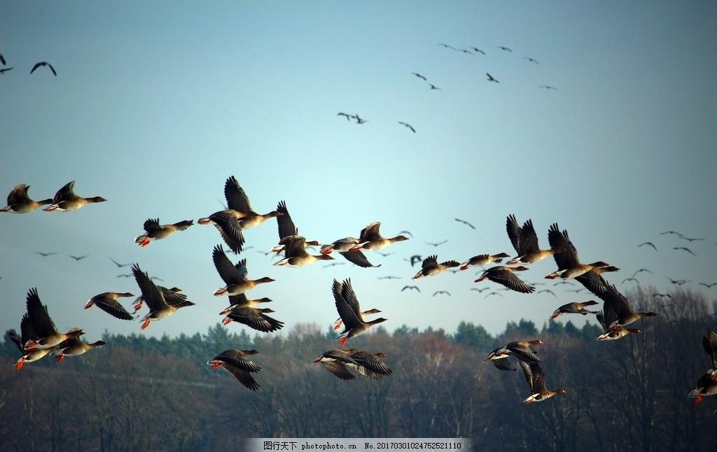 唯美 动物 可爱 生物 大雁 飞雁 南飞雁 摄影 生物世界 鸟类 300dpi