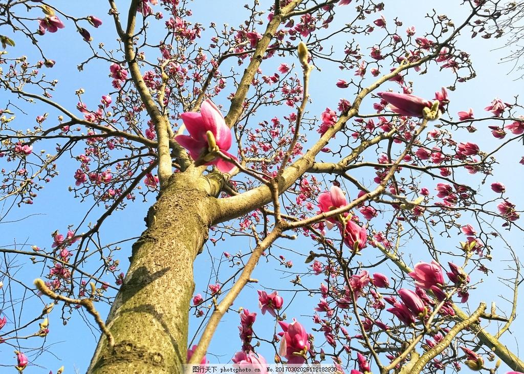 玉兰树 玉兰 玉兰花 白玉兰 公园玉兰 蓝天 玉兰花 摄影 生物世界