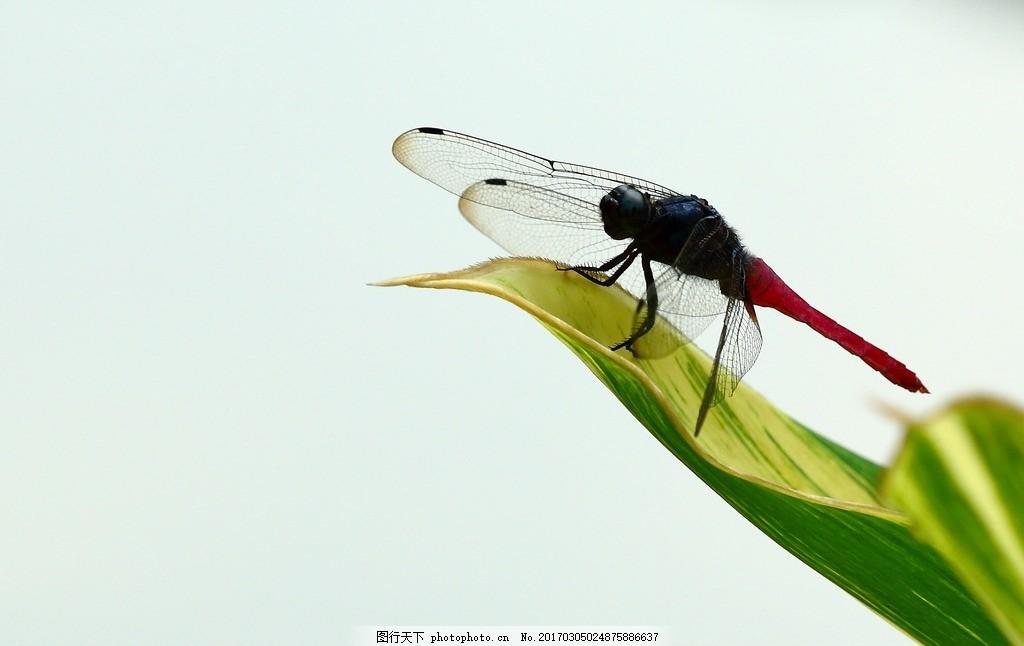 唯美 动物 生物 可爱 蜻蜓 飞舞的蜻蜓 摄影 生物世界 昆虫 350dpi