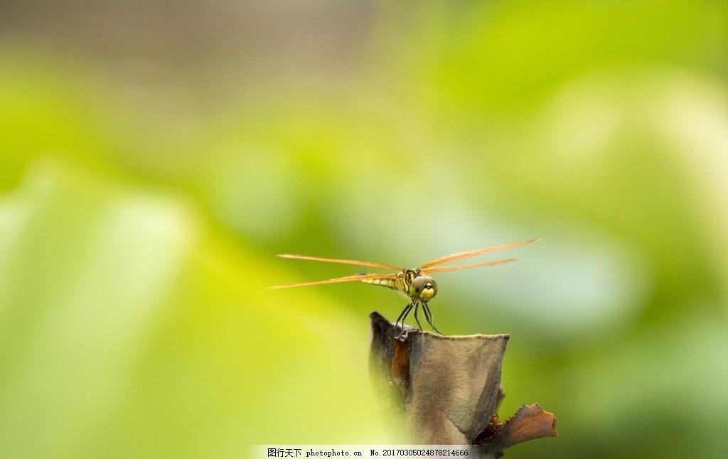 唯美 动物 生物 可爱 蜻蜓 飞舞的蜻蜓 摄影 生物世界 昆虫 300dpi