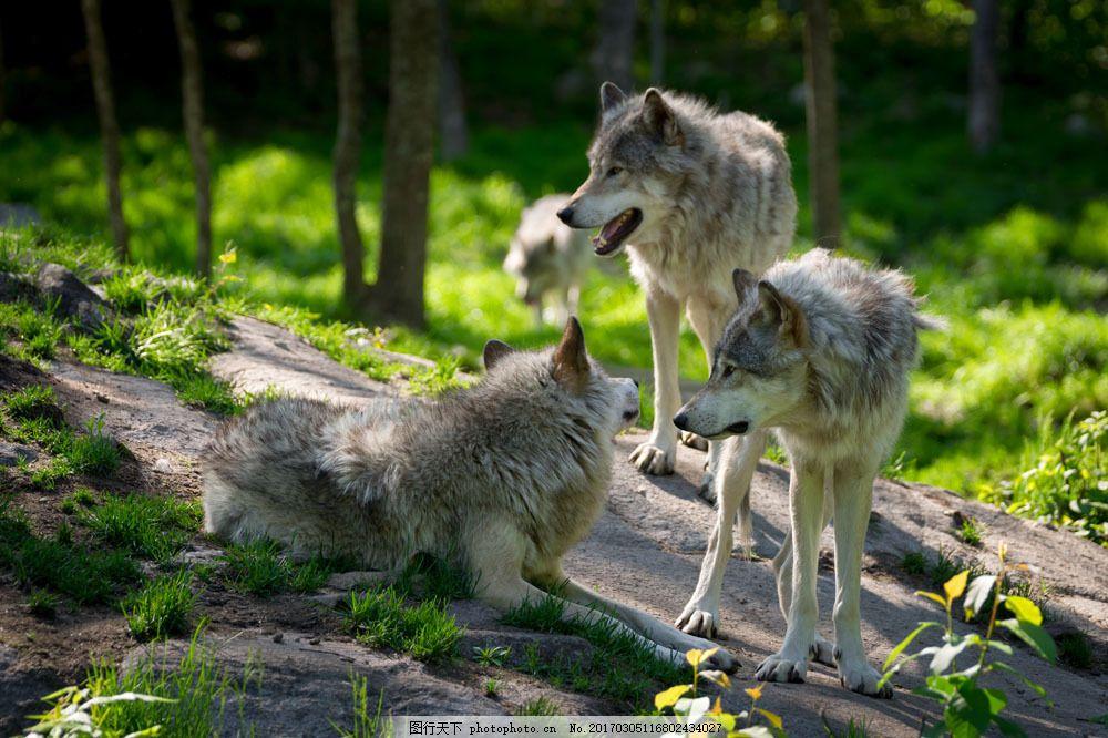 森林里的狼摄影 森林里的狼摄影图片素材 动物 动物世界 陆地动物