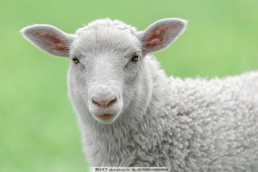 灰色绵羊 灰色绵羊图片素材 动物 陆地动物 生物世界