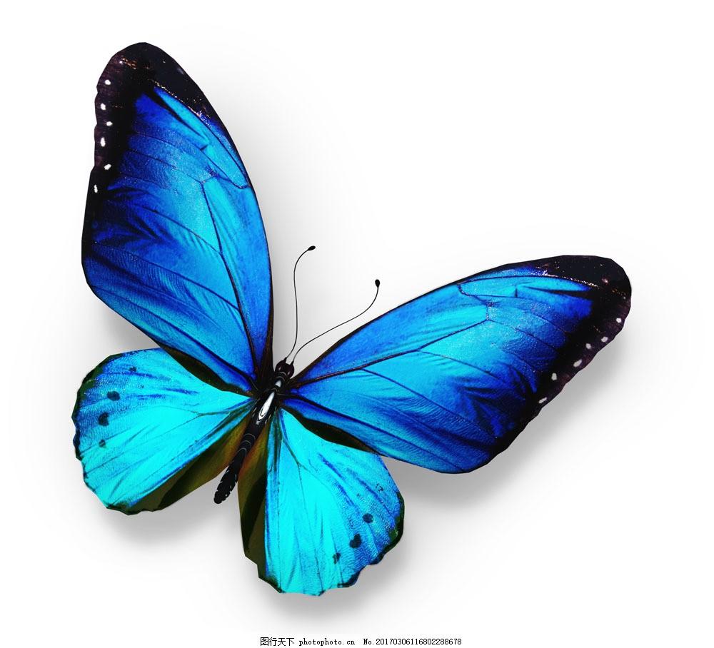 漂亮蓝色蝴蝶图片素材 蓝色蝴蝶 美丽蝴蝶 漂亮蝴蝶 昆虫动物 空中