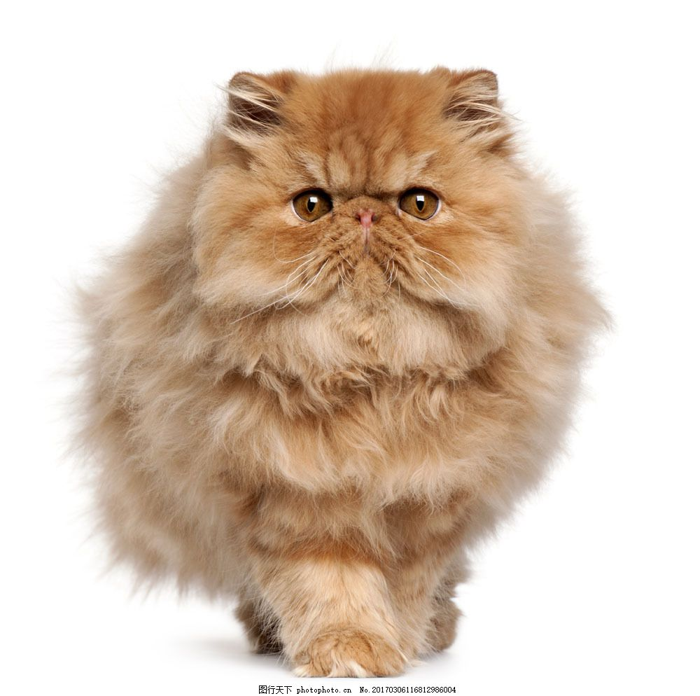 可爱宠物猫图片素材 猫 小猫 猫咪 宠物 可爱 萌 动物世界 波斯猫