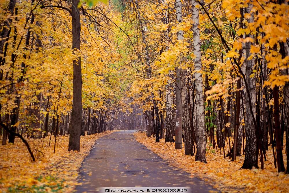 秋天梧桐树林风景 秋天梧桐树林风景图片素材 秋天风景 秋季美景