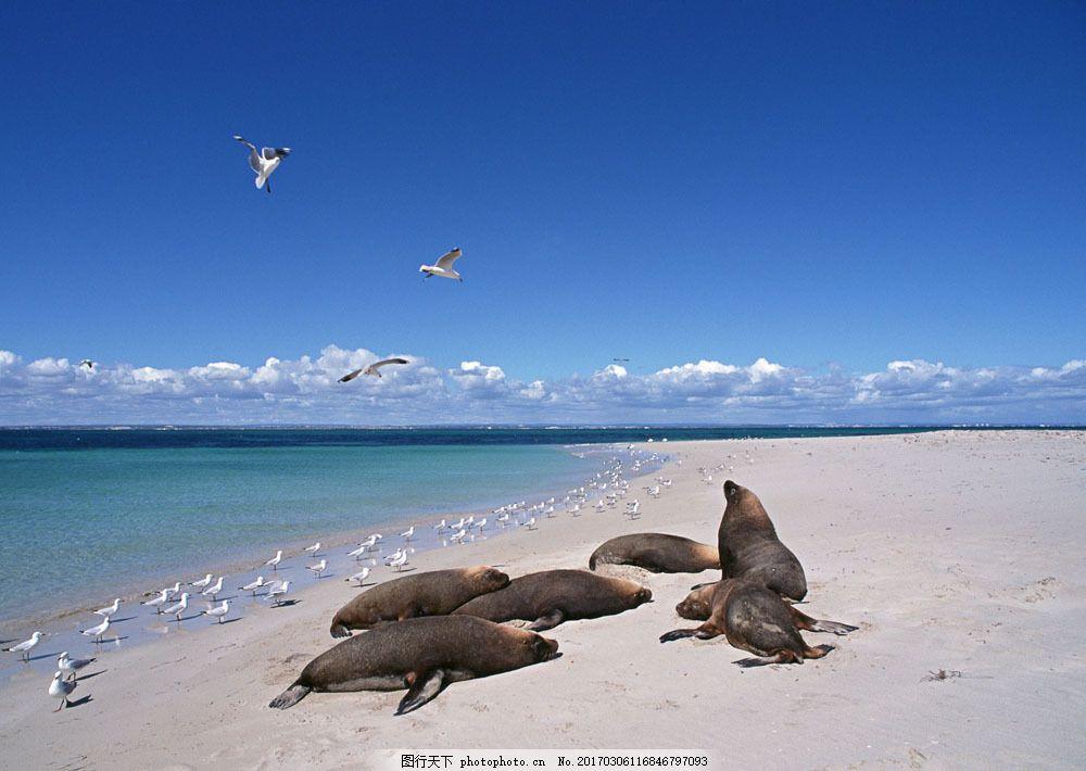 沙滩上的海豹 沙滩上的海豹图片素材 动物世界 生物世界 大海 海鸥