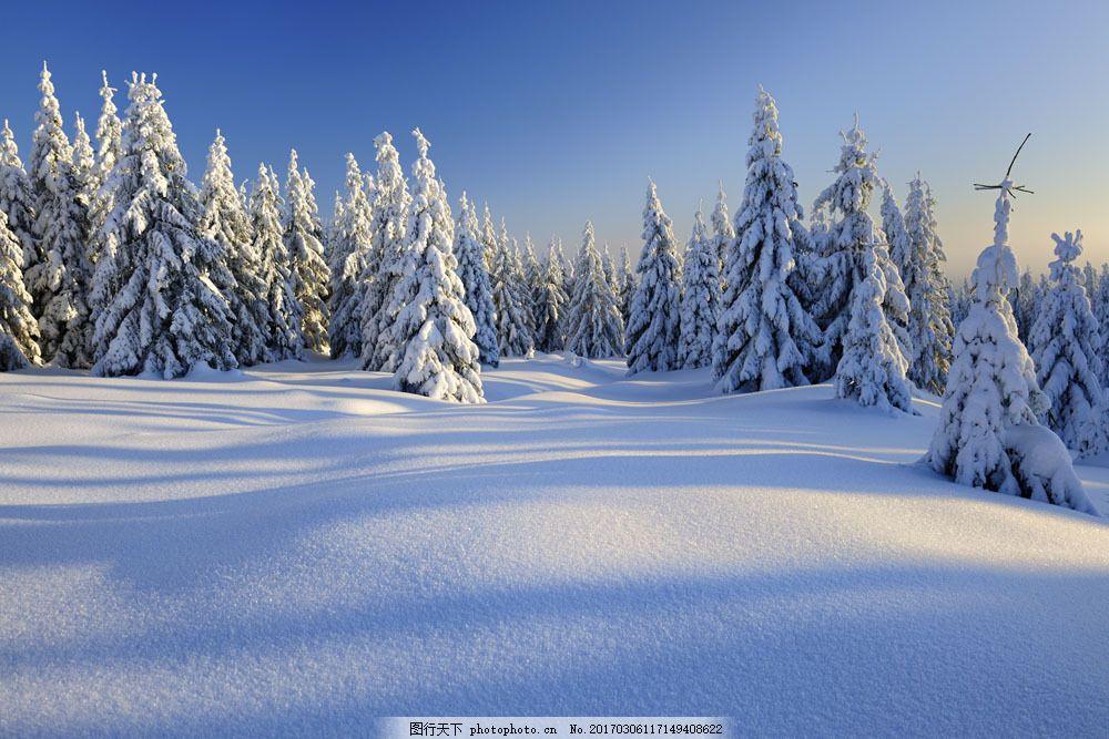 雪天的松树摄影图片