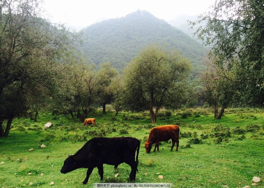 吐鲁沟牧牛图 风景 旅游 森林 高山草原 摄影 国内旅游