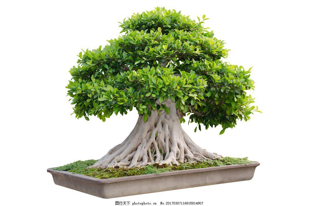 绿色叶子盆栽图片素材 嫩绿 叶子 绿叶 树木 松树 盆景 盆景 盆栽