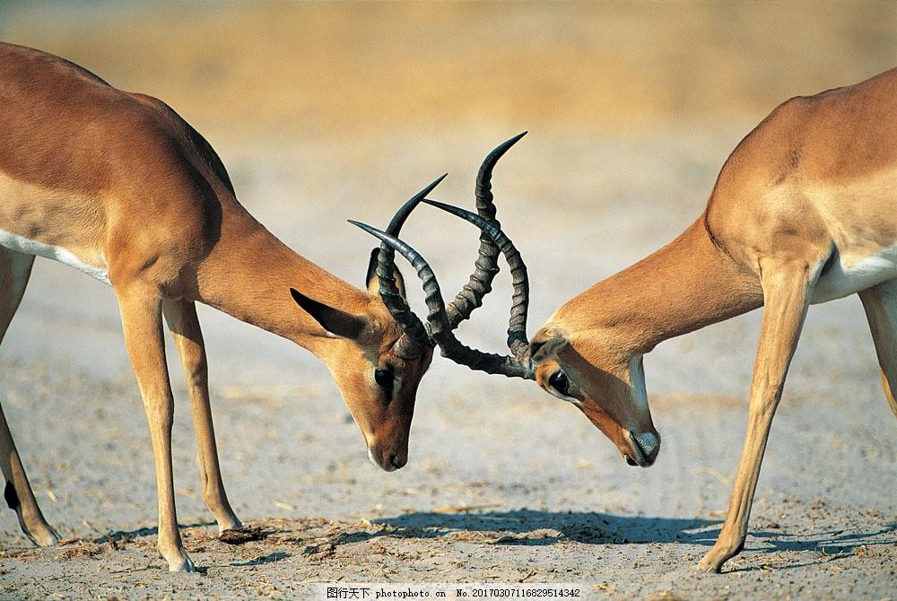 两只在打架的羚羊 两只在打架的羚羊图片素材 动物 野生动物 羚羊角
