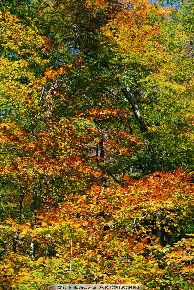 秋天树叶风景 秋天树叶风景图片素材 秋天风景 秋景 秋天色彩 枫叶