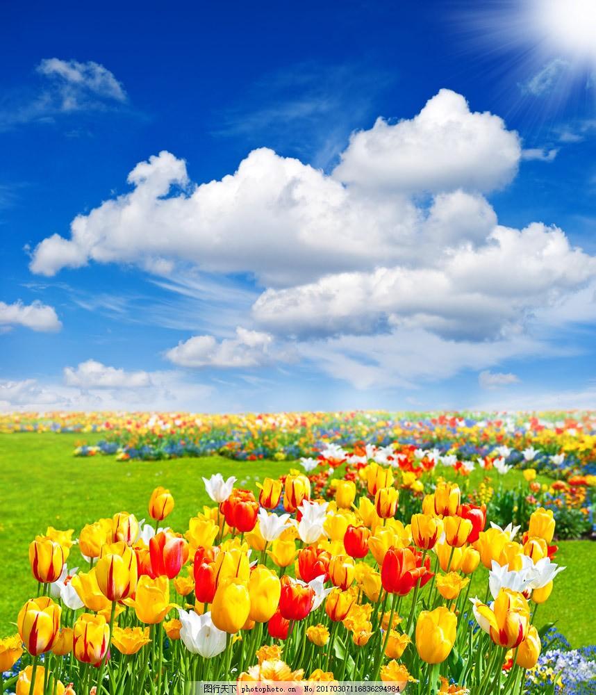 鲜花背景 郁金香 鲜花 花朵 花卉植物 蓝天白云 美丽鲜花 花草树木 生