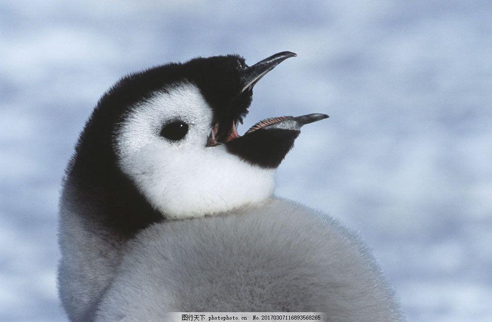 张大嘴的企鹅图片素材 企鹅 动物世界 动物摄影 南极动物 嘴 陆地动物