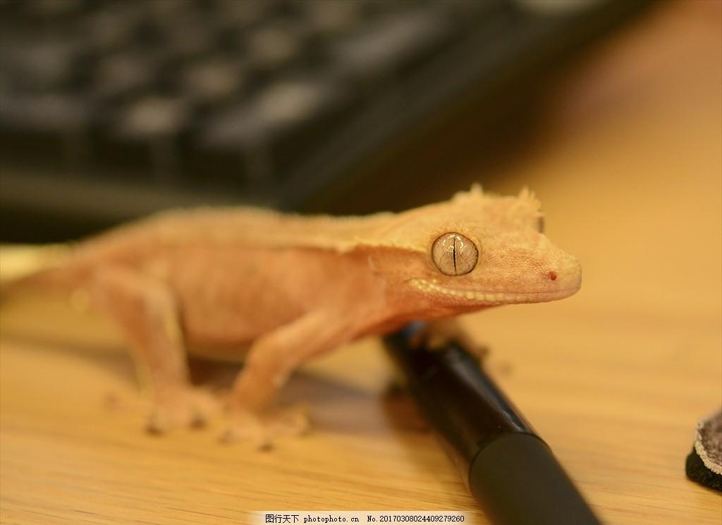 蜥蜴 爬行类动物 爬虫 野生 鳞片 爬行宠 摄影
