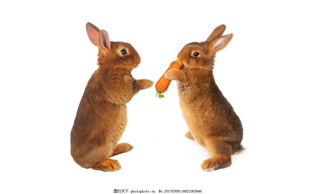两只抢吃胡萝卜的小兔子图片