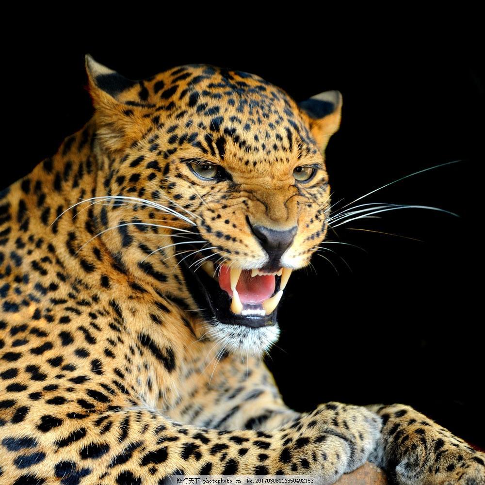 金钱豹摄影 金钱豹摄影图片素材 豹子 吼叫 嚎叫 猎豹 动物世界