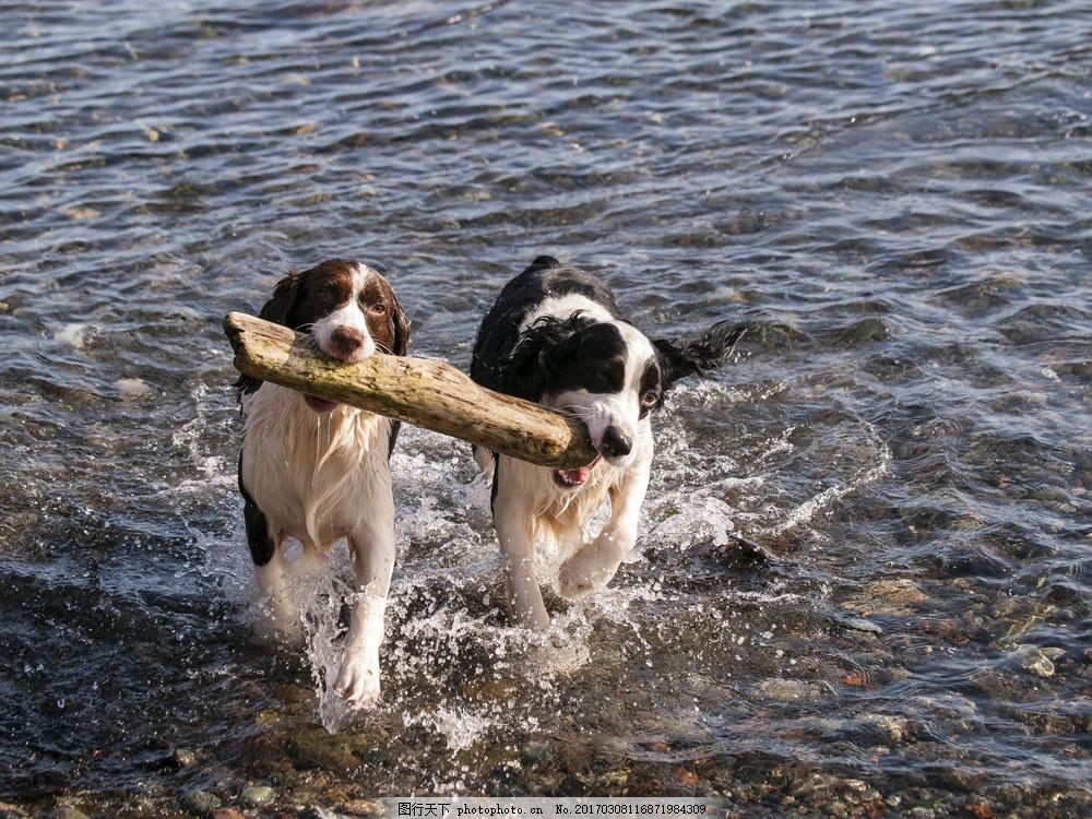 海滩叼着木块的小狗 海滩叼着木块的小狗图片素材 动物 大海 狗狗图片