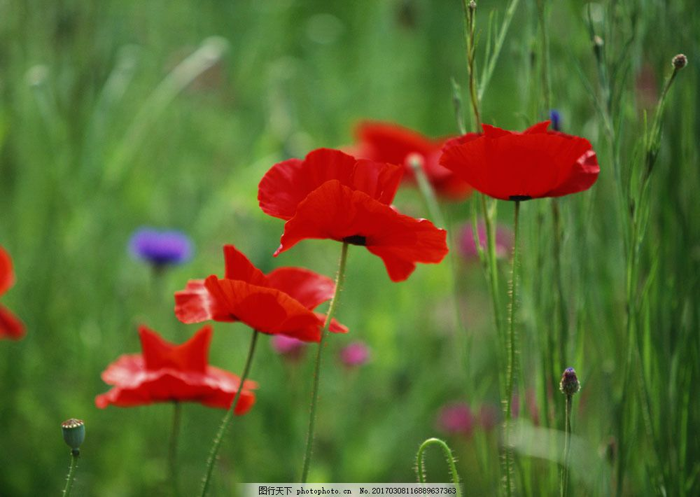 大红色野花图片素材 花卉 自然风景 花草 生物世界 鲜花 花海 绿色
