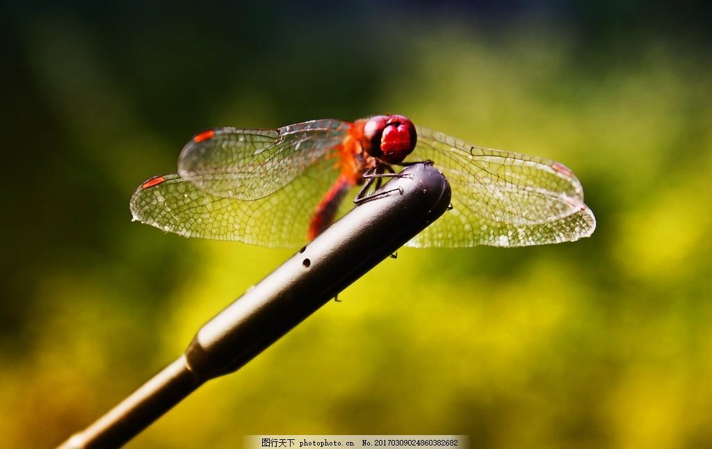 生物 动物 昆虫 虫子 蜻蜓 摄影 生物世界 昆虫 72dpi jpg