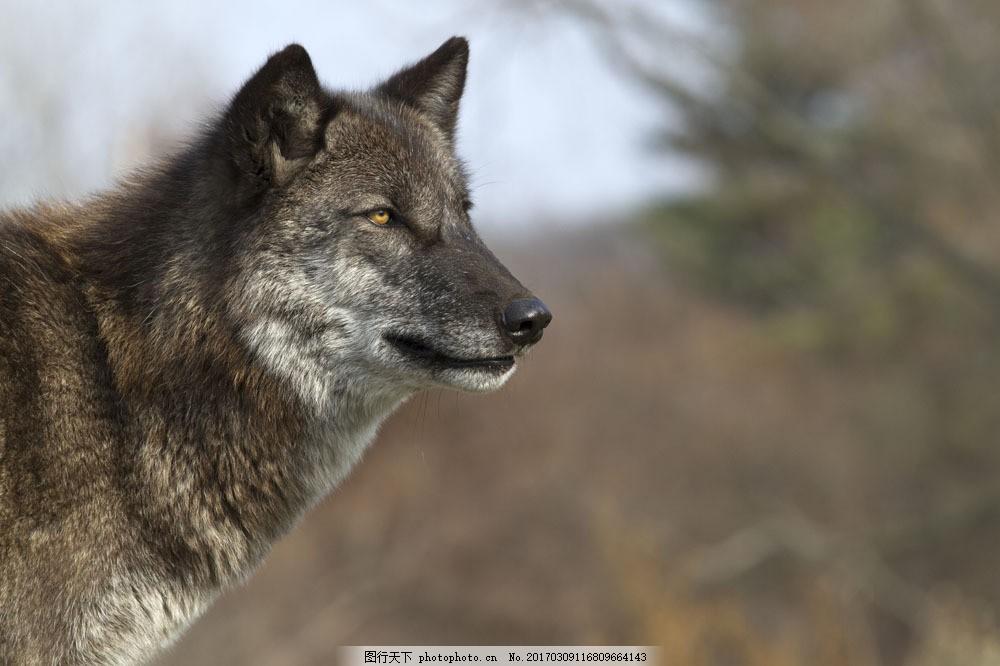 野生狼 野生狼图片素材 狼摄影 动物 动物世界 陆地动物 野生动物