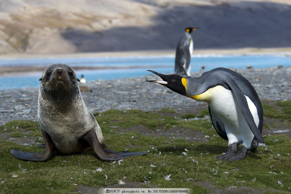 草地上的企鹅 草地上的企鹅图片素材 动物世界 动物摄影 南极动物