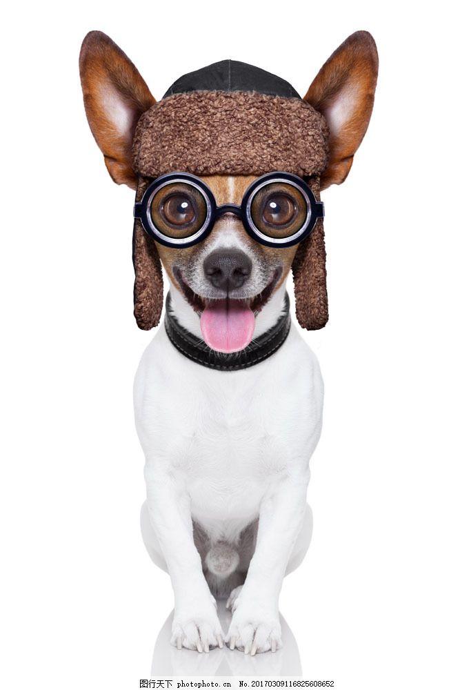 戴眼镜的可爱小狗图片素材 戴眼镜的小狗 狗狗 宠物狗 可爱小狗 动物
