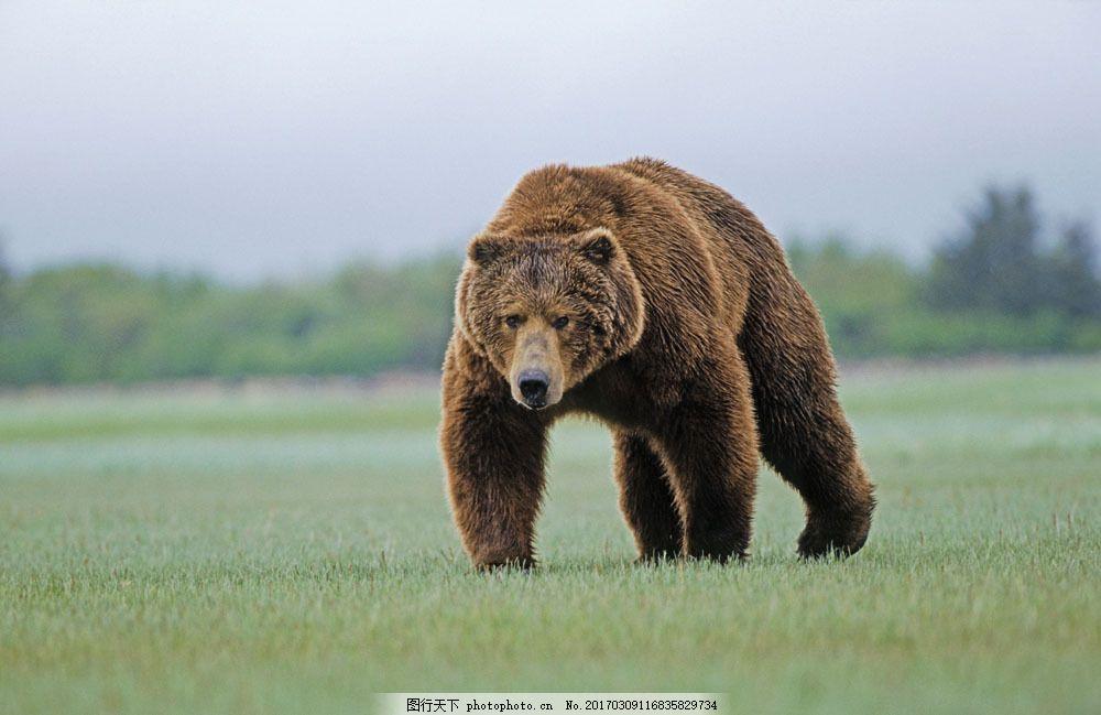 草地上的熊 草地上的熊图片素材 野生动物 高清动物图片素材 狗熊