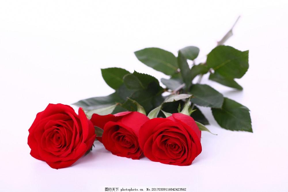 三枝玫瑰花 三枝玫瑰花图片素材 红玫瑰 鲜艳花朵 美丽鲜花 漂亮花朵图片