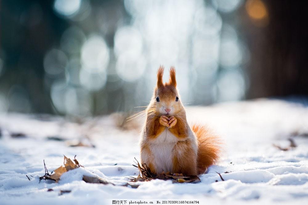 雪地上的小松鼠 雪地上的小松鼠图片素材 动物 陆地动物 生物世界