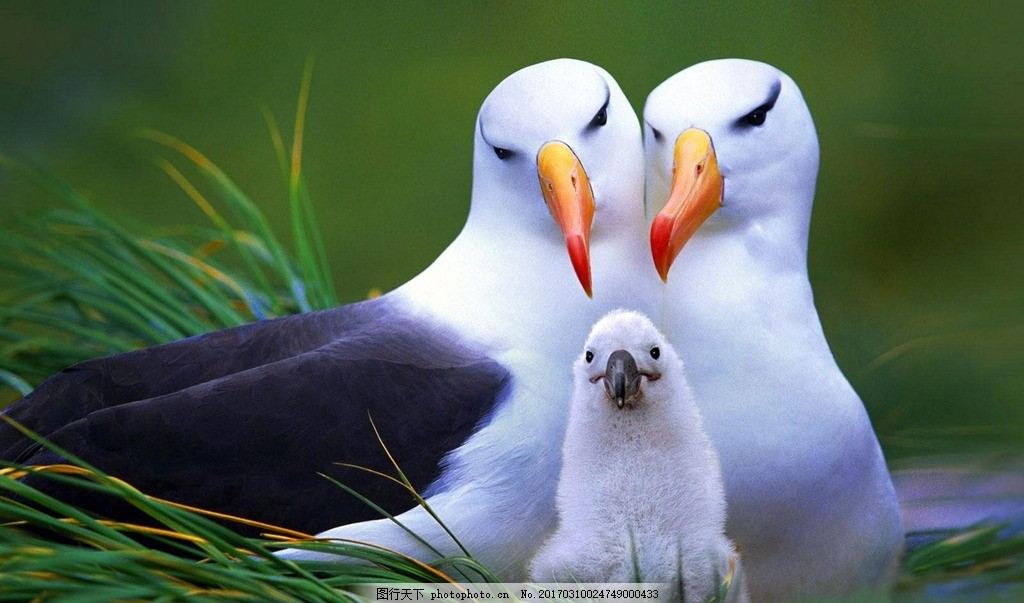 黑眉信天翁 生物 动物 卵生动物 鸟类 信天翁 摄影 生物世界 鸟类 96d