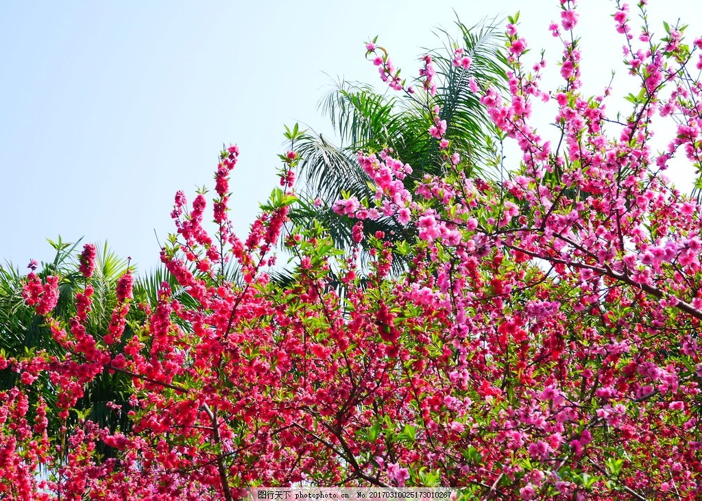 桃花 自然 风景 植物 花卉 摄影