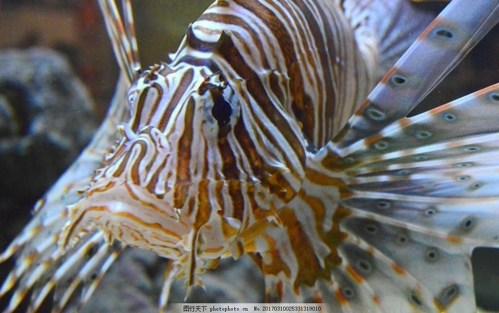 美丽的狮子鱼 狮子鱼 海鱼 海洋生物 鱼类 摄影 素材 动物飞鸟昆虫