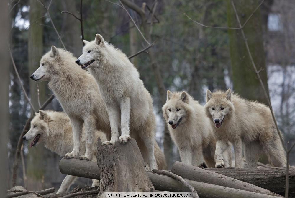 树林里的狼群 树林里的狼群图片素材 野生动物 动物世界 陆地动物