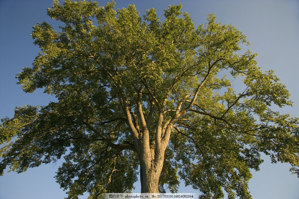 夏天的参天大树 夏天的参天大树图片素材 林木风景 阳光 树木 蓝天