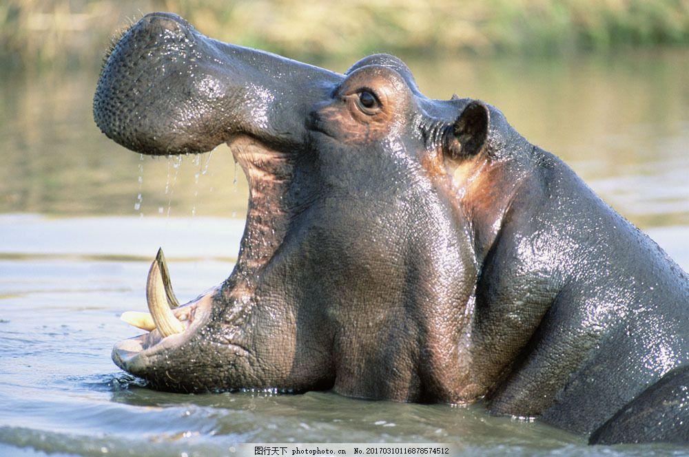 非洲野生动物河马图片