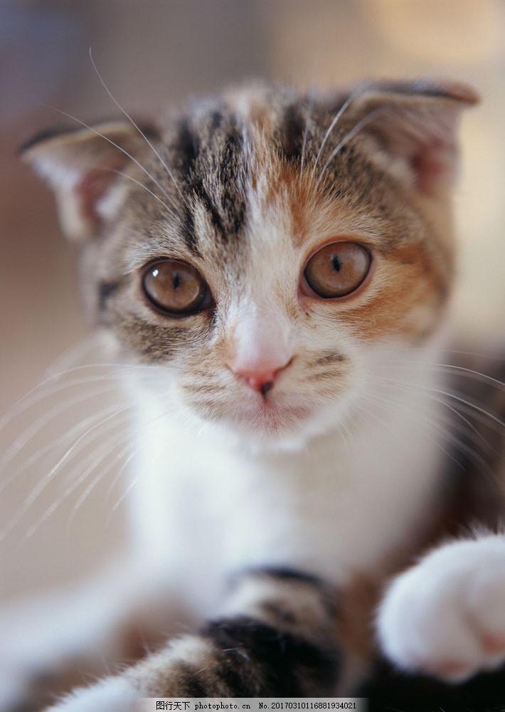 可爱的小猫 宠物猫 小猫 宠物 动物 可爱 萌 可爱大眼睛 懵懂 无辜 脸