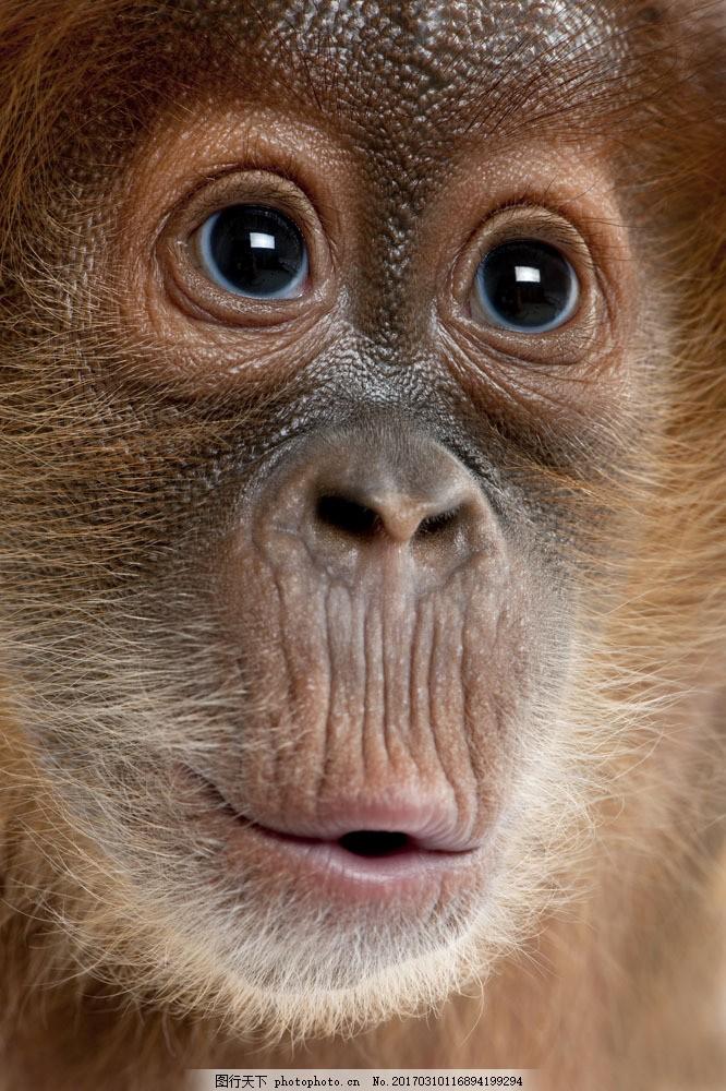 猴子面部特写图片素材 猴子 大猩猩 黑猩猩 野生动物 动物世界 树林