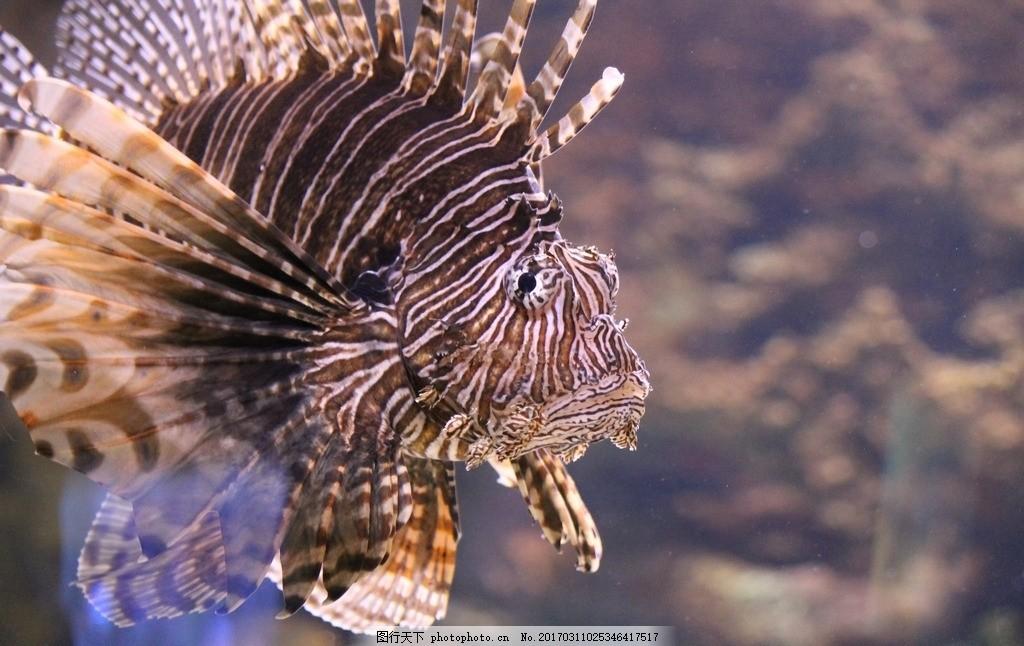 狮子鱼 海洋生物 观赏鱼 鱼类 摄影 素材 动物飞鸟昆虫禽类 摄影 生物