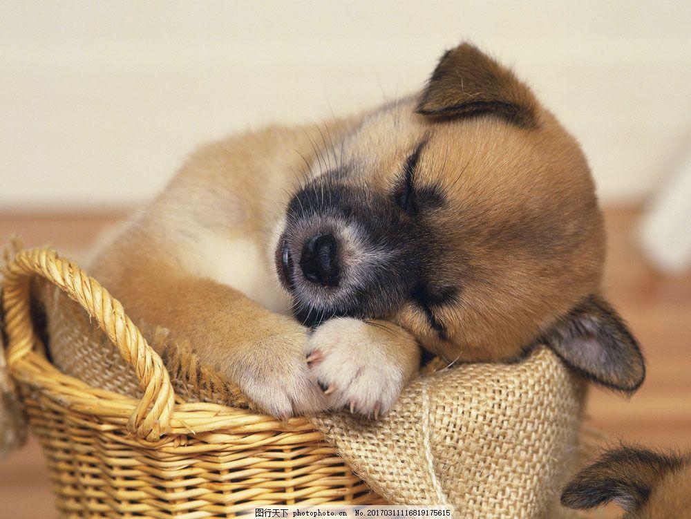 小狗 狗狗 宠物 宠物狗 篮子 小窝 睡在蓝子里 睡觉 睡着 萌 可爱 超