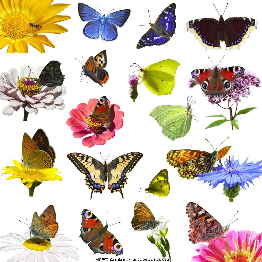 美丽蝴蝶图片素材 蝴蝶 美丽蝴蝶 飞蛾 动物世界 鲜花 花朵 昆虫世界
