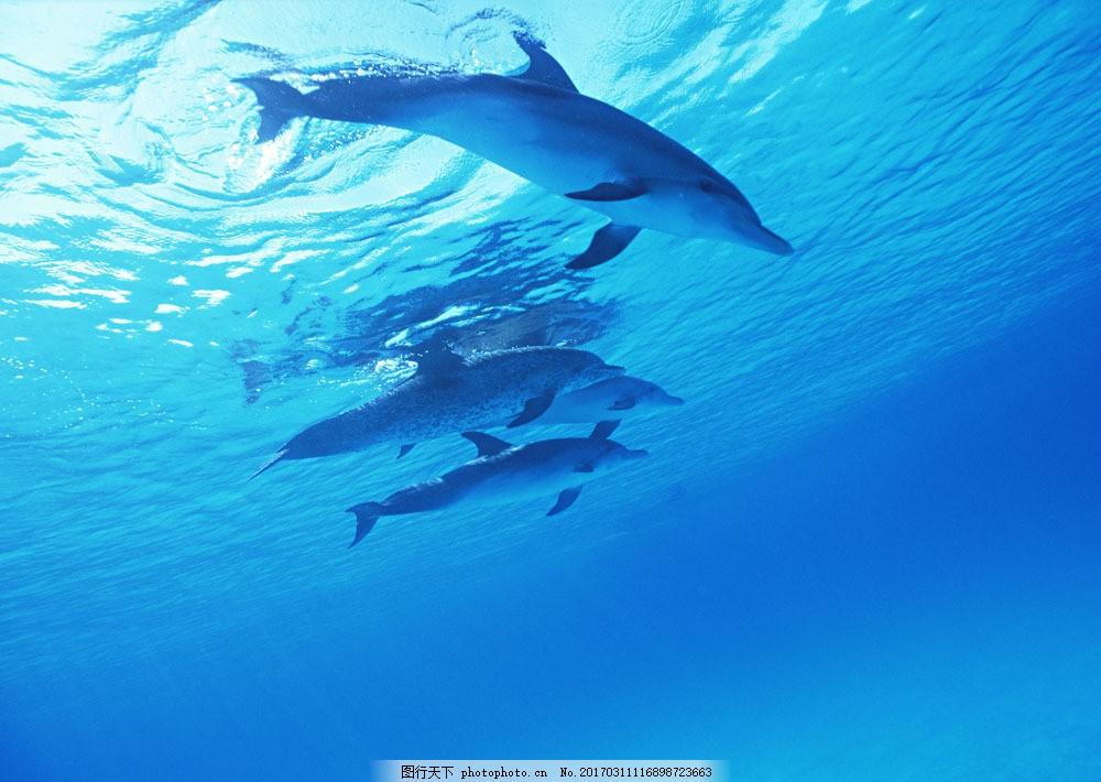 海中一群海豚 海中一群海豚图片素材 动物世界 生物世界 海底生物