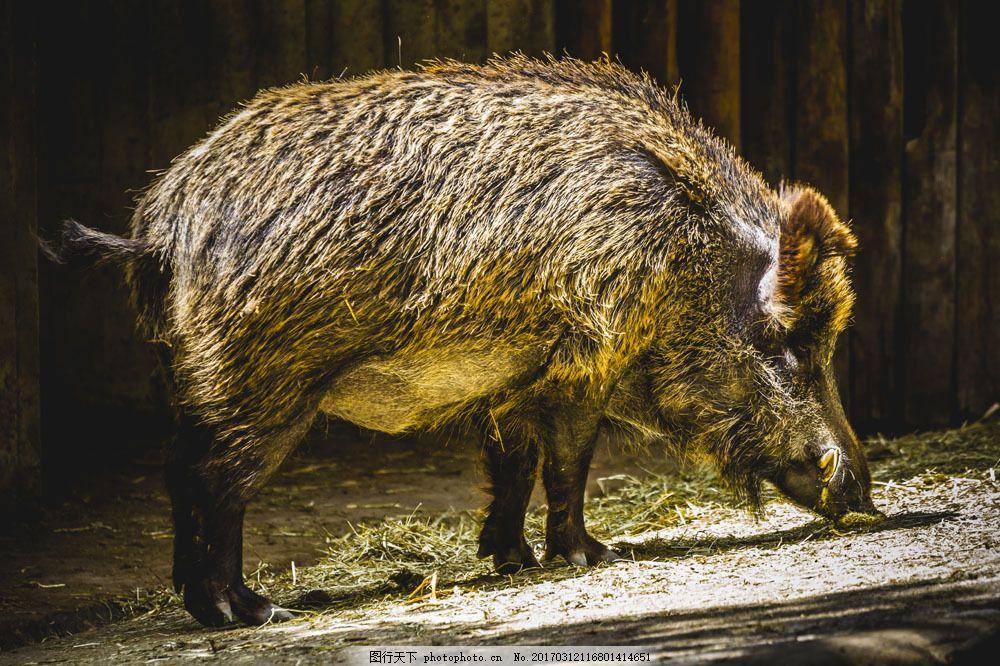 树林里的野猪 树林里的野猪图片素材 动物 陆地动物 野生动物 生物