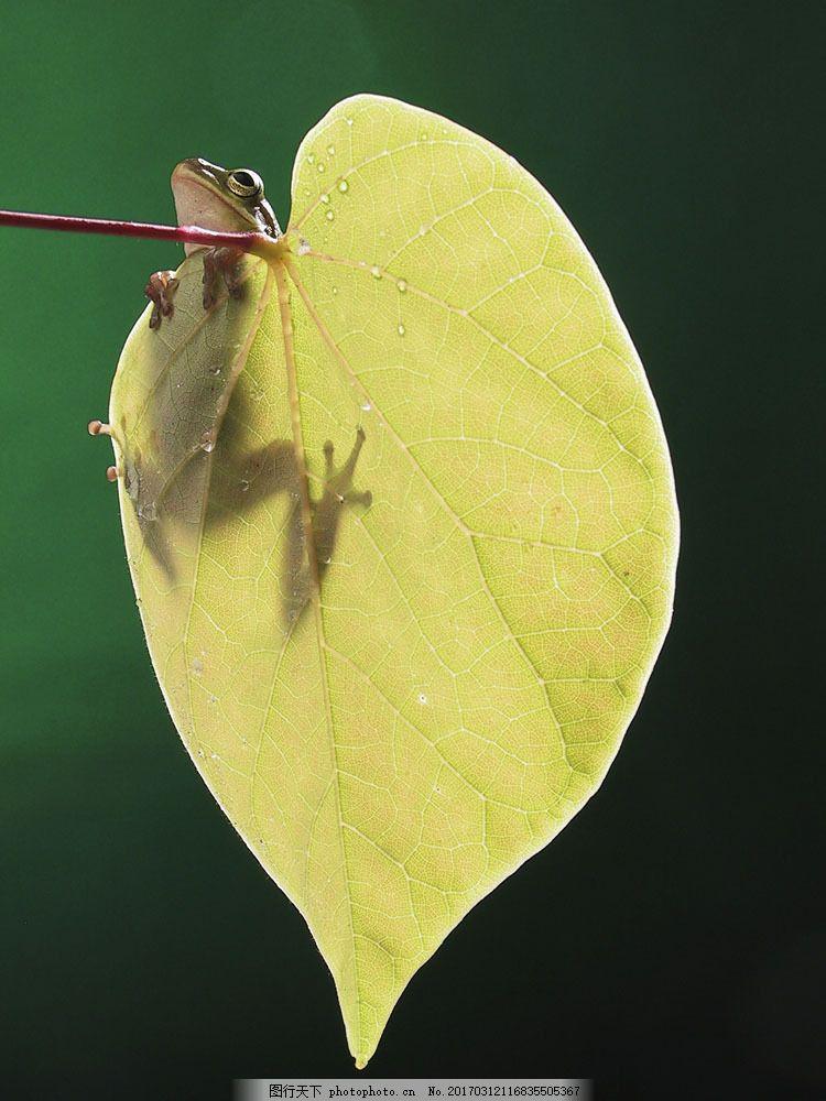 趴在叶子上的青蛙 趴在叶子上的青蛙图片素材 动物 两栖动物 植物