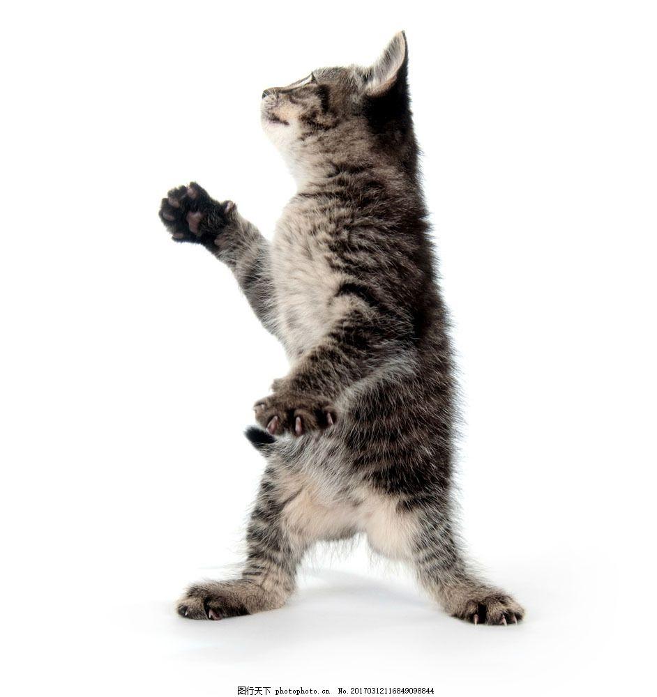 站立的猫图片,站立的猫图片素材 可爱的小猫咪 站姿