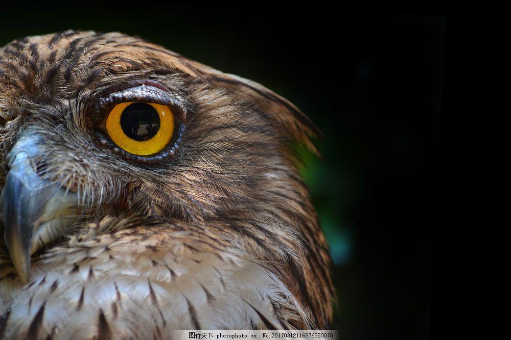 猫头鹰眼睛 猫头鹰眼睛图片素材 飞鸟 飞禽 动物摄影 鸟类动物