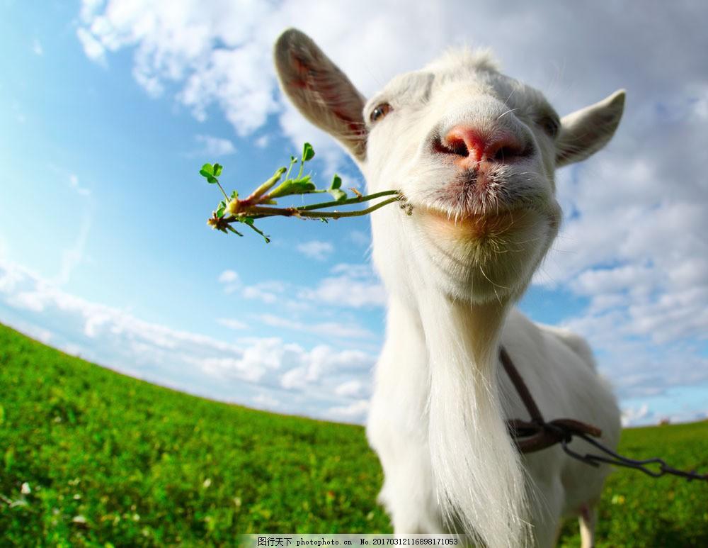 在吃草的羊子 在吃草的羊子图片素材 可爱小羊羔 动物世界 动物摄影