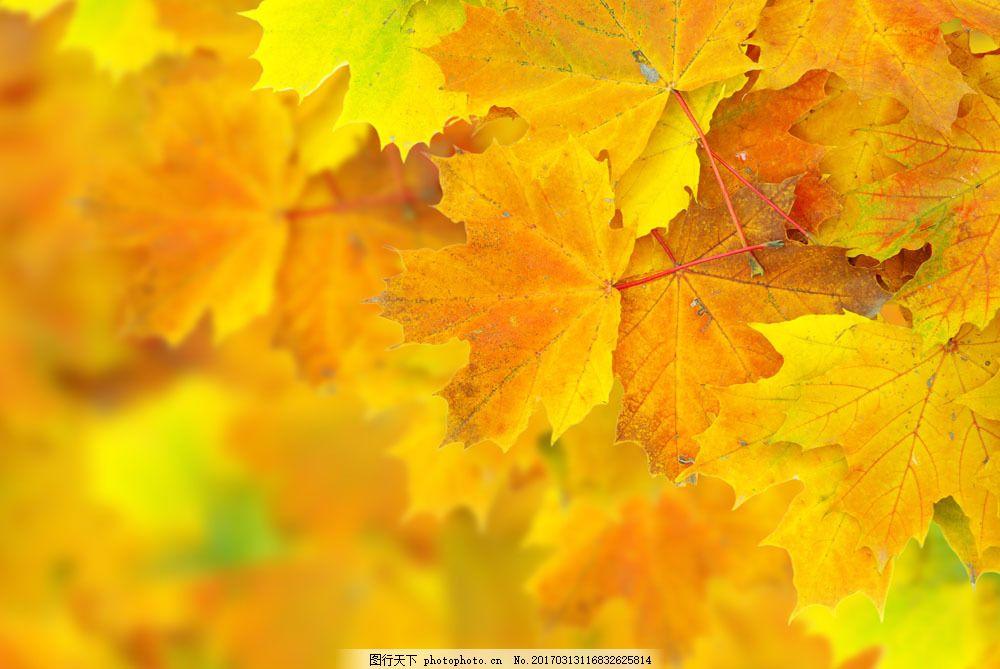 秋天枫叶图片 秋天枫叶图片图片素材 秋节 春夏秋冬 四季 时光