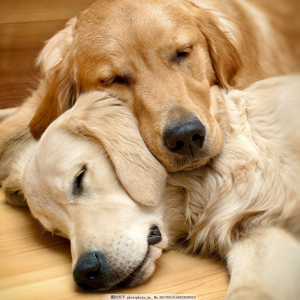 睡觉的可爱狗狗图片素材 小狗 狗狗 宠物 动物世界 可爱小狗 睡觉的狗