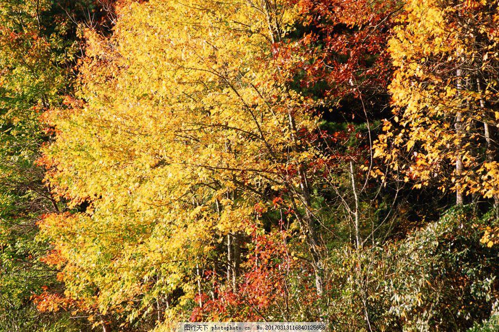 秋天树林风景 秋天树林风景图片素材 秋天风景 秋景 秋天色彩 枫叶