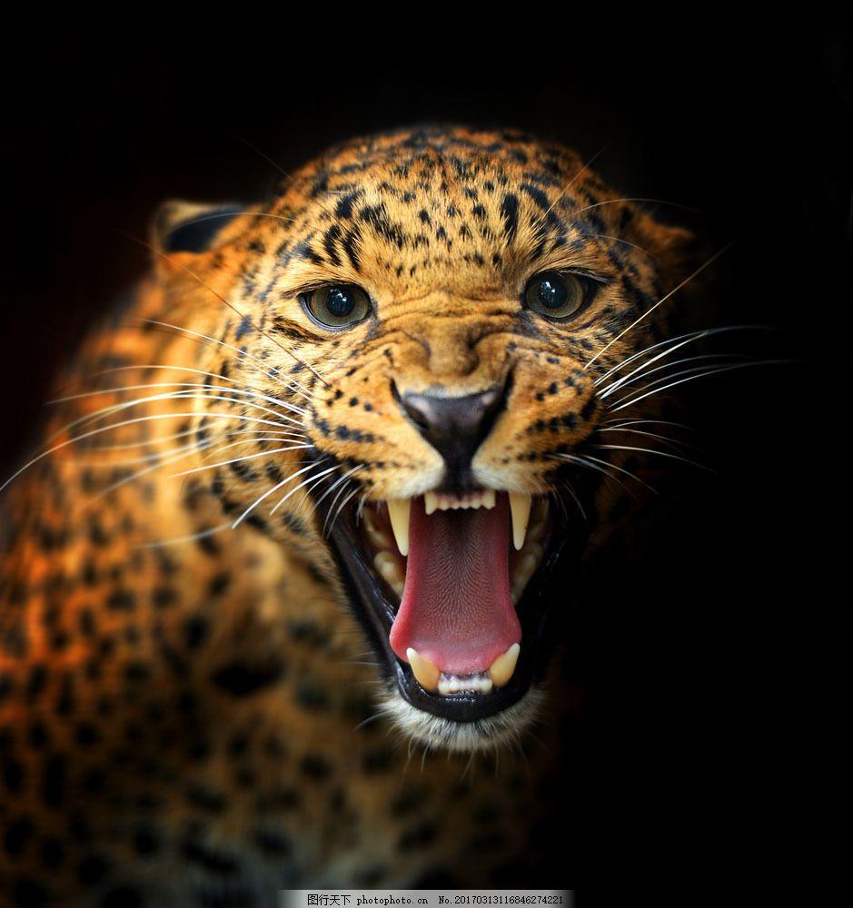 张开嘴巴的豹子 张开嘴巴的豹子图片素材 张嘴 猎豹 金钱豹 野生动物